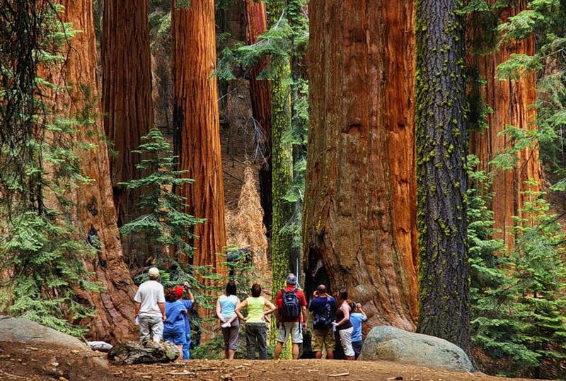популярные красные деревья которые растут в штате калифорния при воспроизведении частенько